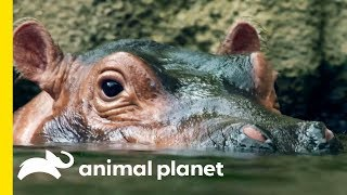 How Does A Hippo Torpedo Through The Water?! | How Do Animals Do That?