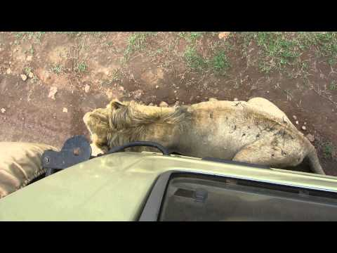 Safari at Ngorongoro Conservation Area - Tanzania - Lion uses truck for shade