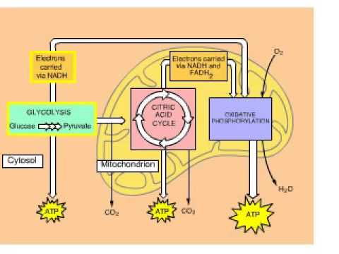 Cellular Respiration Overview Animation with Glycolysis Krebs and ETC