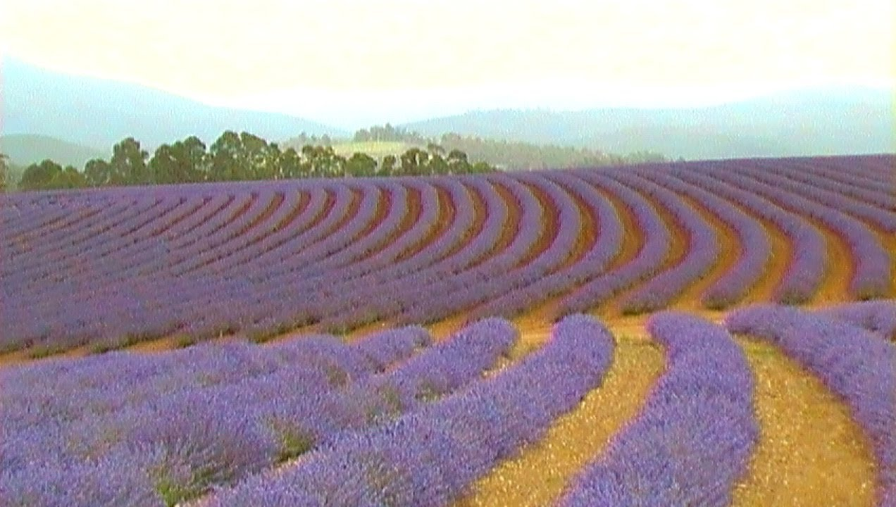 LARGEST Lavender Farm in the WORLD!!!