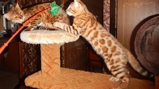 Бенгальским котятам 3 месяца
