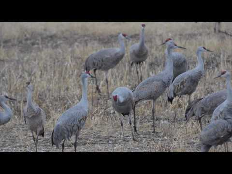 Sandhill Cranes of Cochise County
