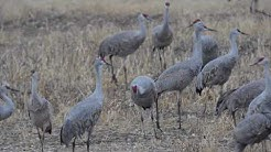 Sandhill cranes and the birds of Cochise County, Arizona