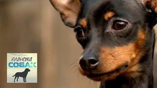 Пражский крысарик. Планета собак 🌏 Моя Планета