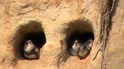 Törmäpääsky (Riparia riparia)