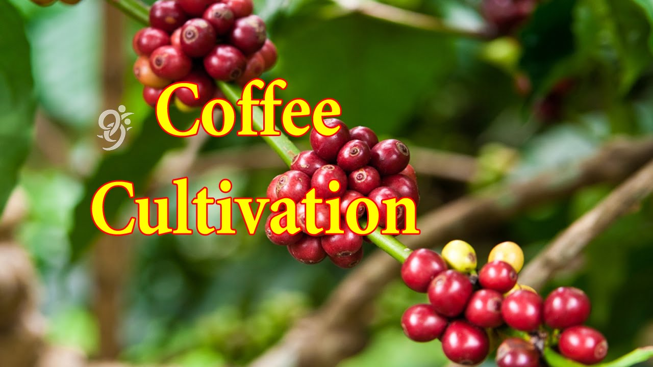 How to GrowCultivate Coffee advise