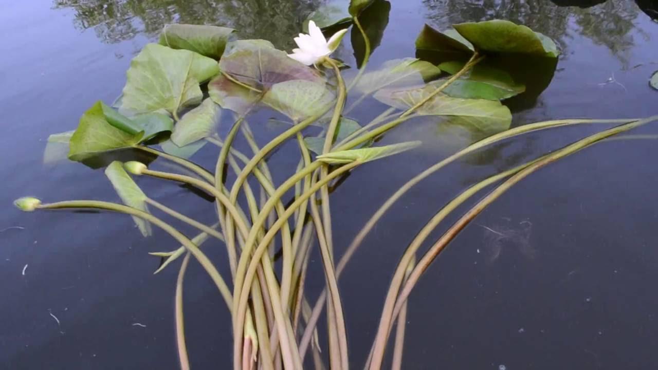 Строение стебля лилии