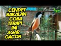 Suara Masteran Cendet Gacor Full Isian Cocok Untuk Memancing Cendet Bakalan  Mp3 - Mp4 Download