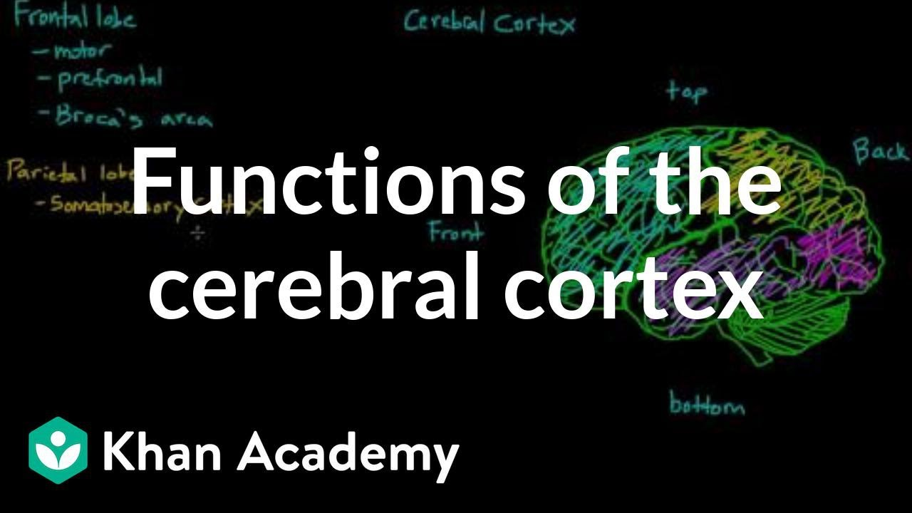 Overview Of The Functions Of The Cerebral Cortex Youtube