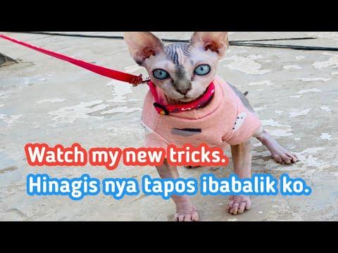 #cat tricks (tokio train how to play fetch). #sphynx #cat #tricks