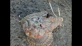 ядовитая рыба камень на пляже