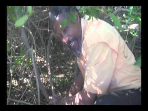 Brazilian Pepper (Schinus terebinthifolius): In the Thicket .wmv