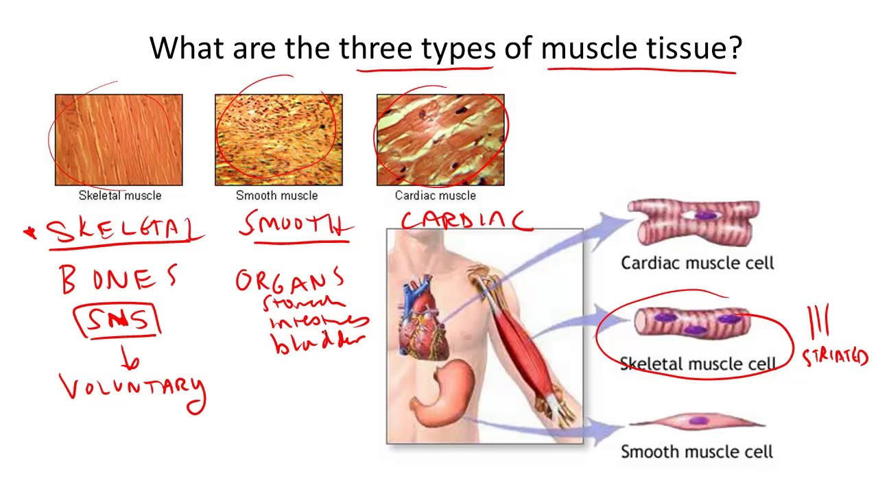 Three Types Of Muscle Tissue Youtube