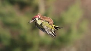 Weasel Photographed On Flying Woodpecker's Back