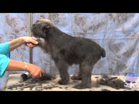 How to groom dogs the Affenpinscher with Judy Hudson