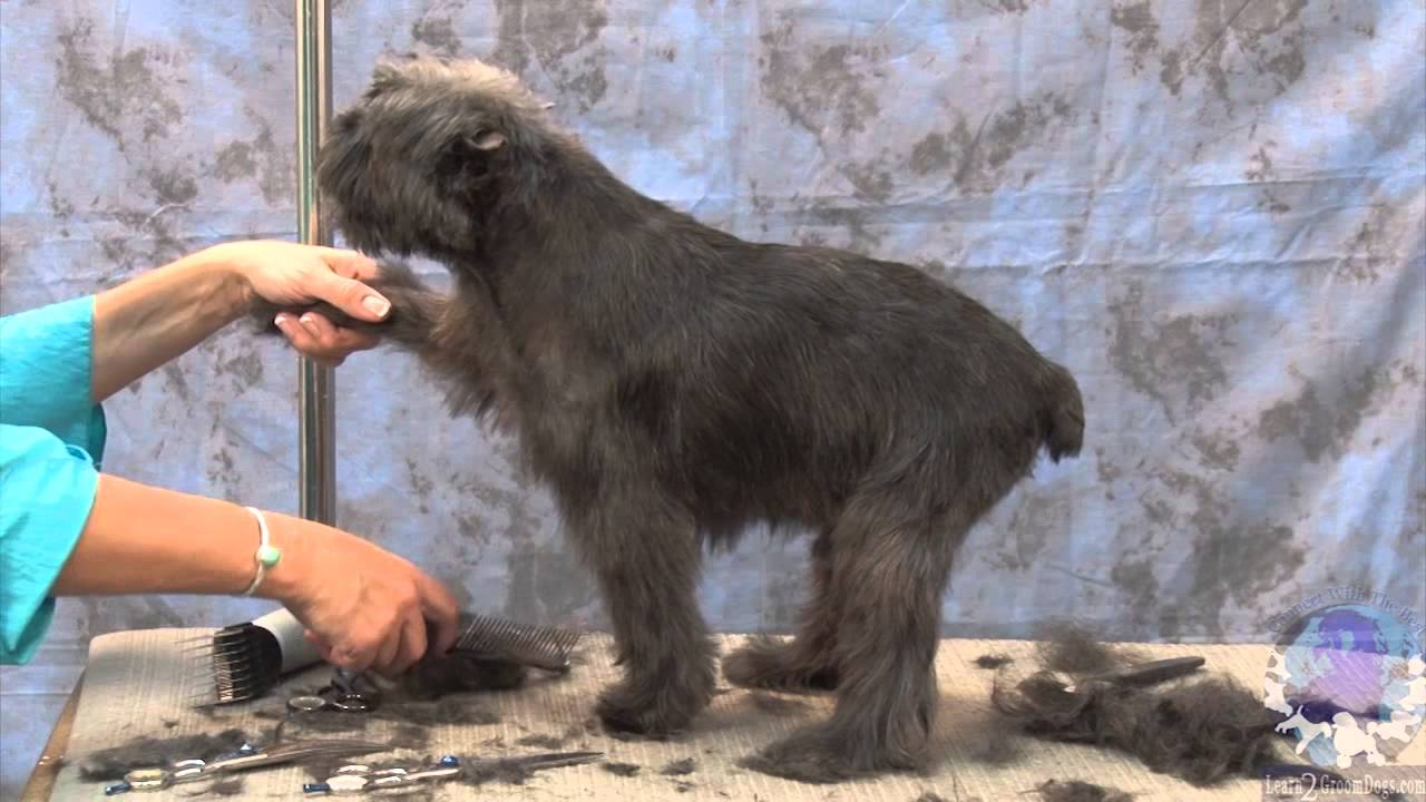 How to Groom an Affenpinscher