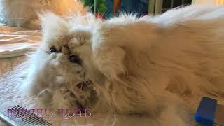 18 03 06 Grooming Persian kitty, Krakatoa