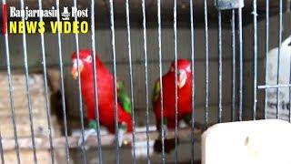 Rezeki Memelihara Si Burung Cinta