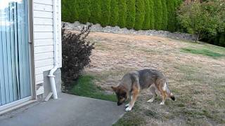 German Shepherd Guide Dog Creates Game With Blind Man