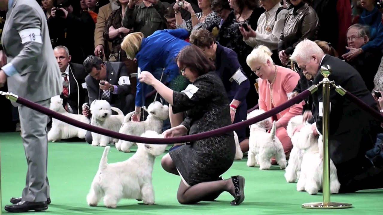 Westminster Dog Show West Highland Terrier