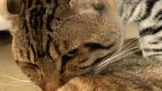 Rare Cats In Heat! Graphic Video
