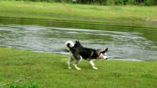 Siberian  Husky Off Leash Training Tips Dogtra Bandit
