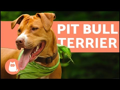 American Pit Bull Terrier  Characteristics and Care