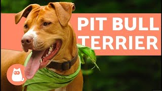 American Pit Bull Terrier - Characteristics and Care Resimi