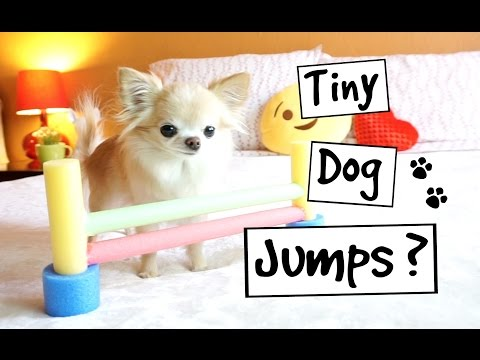 CUTE PUPPY sized chihuahua TINY AGILITY JUMPS training