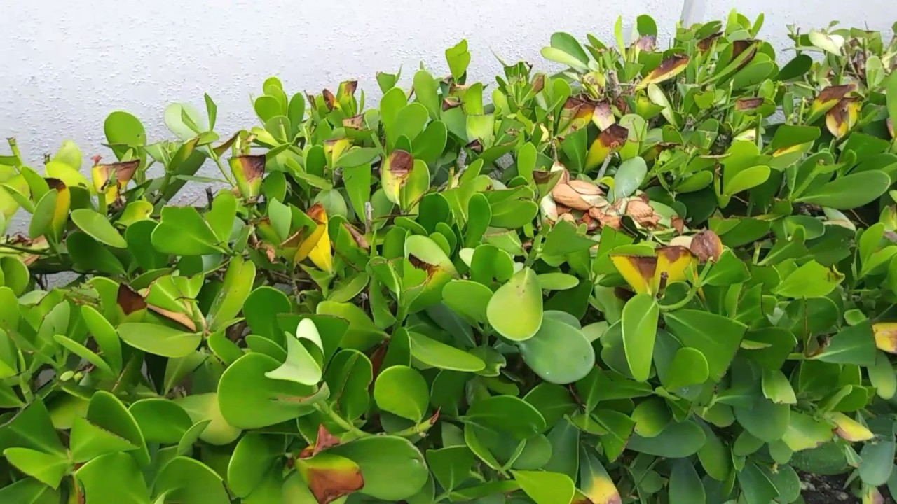 Clusia Bad Prunnig Causes Pests And Diseases