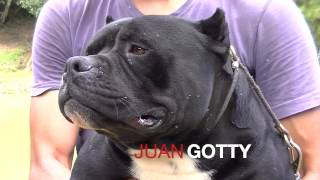 American Bully IPC International Pedigree Pax Blood