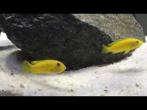 How To Tell If Your Cichlid Is Holding | African Cichlid Mouth Brooder | Cichlid Fry | Breeding Tips