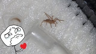 This BABY TARANTULA got SQUISHED in the MAIL  :(