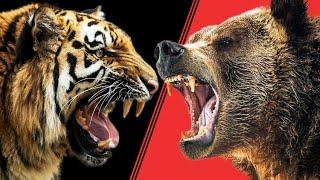видео бой льва с медведем