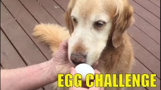 Golden Retreiver Dog Egg Challenge Gone Wrong the Third Time | Awesome Dogs 2018