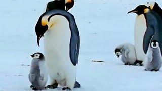 МАРШ ПИНГВИНОВ 2 Трейлер #1 (2018) Природа Документальный Фильм HD