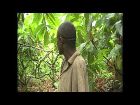 Plight of a Cocoa Farmer