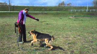 Шакти.Май 2015. Собака в добрые руки. Метис овчарки