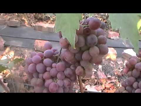 Сорт винограда Низина сезон 2015