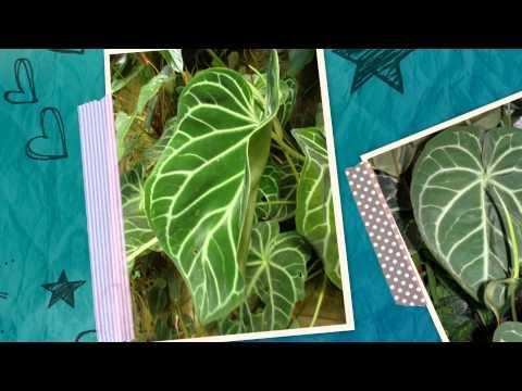 Антуриум Хрустальный (Anthurium crystallinum) - многолетнее травянистое вечнозелёное растение.