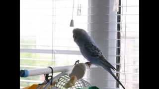 Как научить попугая разговору. Первые успехи в обучении волнистого попугая.