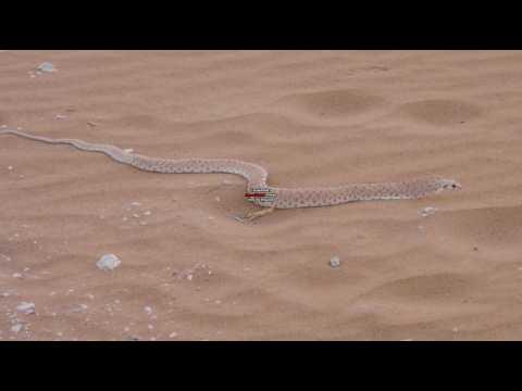 Saudi Snake 1