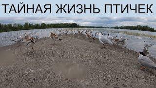 Скрытая камера 4k Чайки на островке.