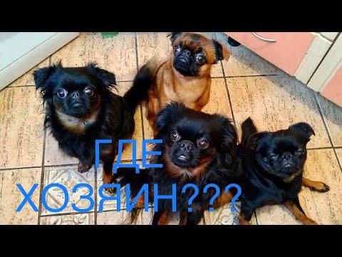 ПТИ БРАБАНСОНЫ ЕДУТ К СВОЕМУ ХОЗЯИНУ Petit Brabancon #птибрабансон #собаки #маленькиесобаки