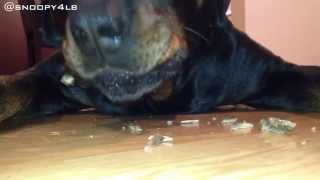 Rottweiler Food Aggression Part 2