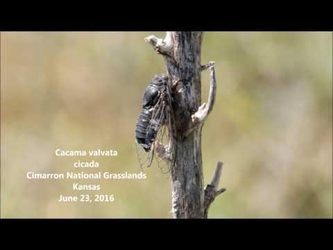 Cacama valvata cicada, Cimarron National Grasslands