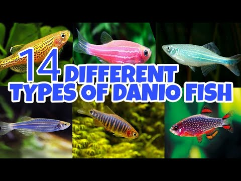 All Types Of Danios Fish