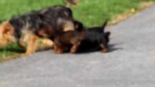 Aussie Terri-Poo Puppies for Sale