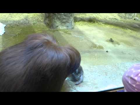 Part 1:  Orangutan Eats Regurgitated Vomit, Warning: Not For The Queazy.