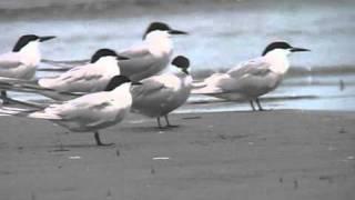 野鳥辞典/鳥の動画/アジサシ